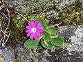 Primula hirsuta (15152605177).jpg