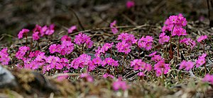 Ericales - Primula rosea from the Primulaceae