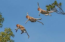 Proboscis monkey (Nasalis larvatus) composite.jpg