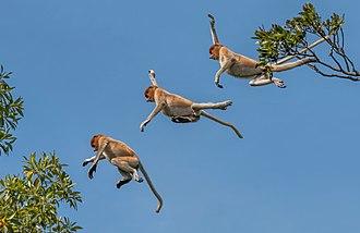 Proboscis monkey - Jumping (composite image), Labuk Bay, Sabah, Borneo, Malaysia