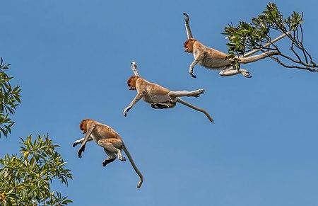 Proboscis monkey Nasalis larvatu composite