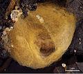 Prolysiopetalum scabratum cocoon.jpg