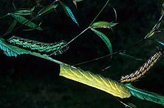 240px proserpinus juanita