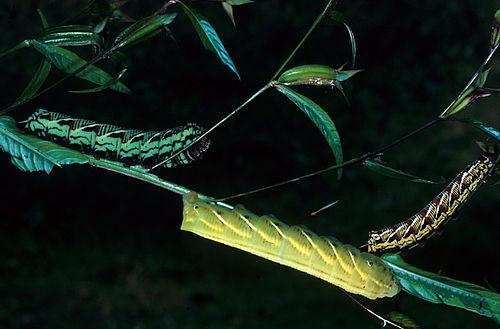 500px proserpinus juanita