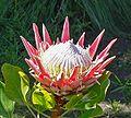 Protea cynaroides 5.jpg