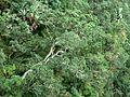 Protorhus longifolia, habitus, Krantzkloof NR.jpg