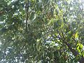 Prunus avium - UK 4.jpg