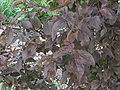 Prunus ceracifera blad.jpg