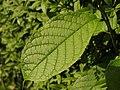 Prunus domestica (14014811180).jpg