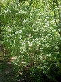 Prunus mahaleb 1c.JPG