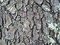Prunus serotina-bark.jpg