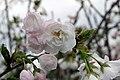 Prunus serrulata Shirotae 0zz.jpg