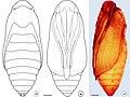 Prymnotomis cecidicola (10.3897-zoologia.36.e34604) Figures 35–37.jpg