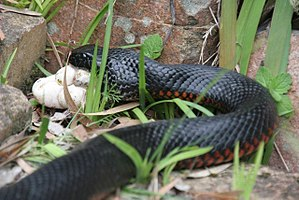 Red-bellied black snake - Red-bellied black snake eating the eggs of a green tree snake near Dungog, New South Wales