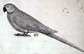 Psittacula exsul Jossigny.jpg