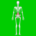 Psoas major muscle07.png