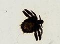 Pthirus pubis (YPM IZ 093623).jpeg
