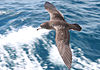 Puffinus carneipes -New Zealand -flying-8.jpg