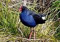 Pukako.swamphen (Porphyrio melanotus) NZ (13962569337).jpg