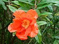Punica granatum flower (1).jpg