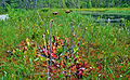 Purple Pitcher Plant (Sarracenia purpurea) (7513875052).jpg