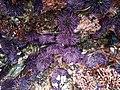 Purple sea urchins (42974677362).jpg