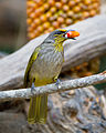 Pycnonotus finlaysoni - Kaeng Krachan.jpg