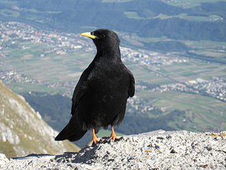 Chough - Alpine choughs breed in high mountains in much of southern Eurasia.