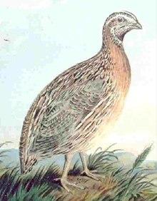 Karaniwang pugo