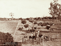 Queensland State Archives 2517 Waldrons Farm and vineyard at Roma c 1898.png
