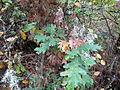 Quercus cerris Bosilegrad 7.JPG