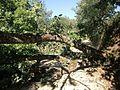 Quercus pyrenaica 2011 07 13.jpg
