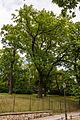 Quercus robur (20150525-DSC05345).JPG