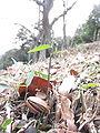 Quercus serrata seedling.jpg