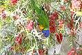 Rainbow lorikeet 1 (11722389883).jpg