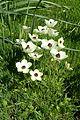 Ranunculus asiaticus kz7.jpg