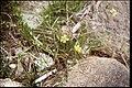 Ranunculus flammula 1-eheep (5097346117).jpg