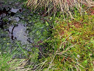 Curraghs - A Sphagnum bog, not located at the Curraghs