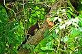 Ratufa indica in tree.jpg