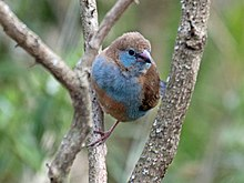 Red-cheeked Cordonbleu female RWD.jpg