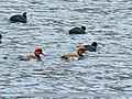 Red-crested Pochard (Netta rufina) (45236730784).jpg