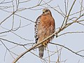 Red-shouldered Hawk on Sauvie Island (41081624271).jpg