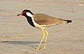 Red-wattled Lapwing Vanellus indicus by Dr. Raju Kasambe DSCN9584 (1).jpg
