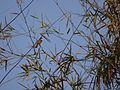 Red-whiskered bulbul (Pycnonotus jocosus) (6926357145).jpg
