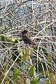 Red-winged Blackbird (Agelaius phoeniceus), Female - Big Creek National Wildlife Area 02.jpg