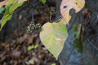 Toxicodendron radicans - Image: Red River Gorge Poison Ivy
