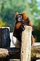 Red Ruffed Lemur (50349738683).jpg