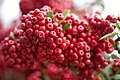 Red pommes of Firethorn (Pyracantha) close-up.jpg