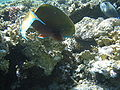 Red sea-reef 3688.jpg