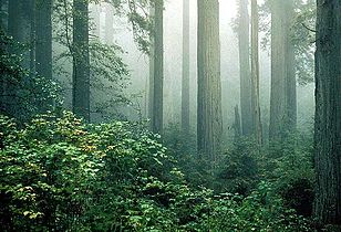 Redwood and fog.jpg